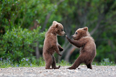 Bear Cubs, Denali National Park, Alaska.
