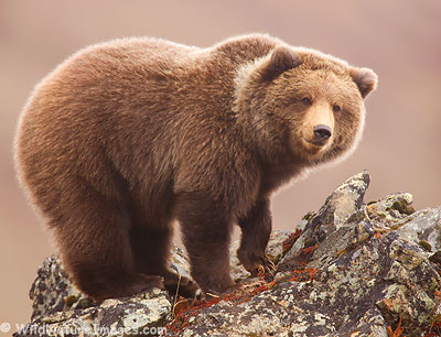 Grizzly Bear in Denali National Park, Alaska