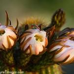 Night Blooming Cactus Bud