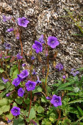Desert Canterbury Bell Wildflowers, Anza-Borrego Desert State Park, California.