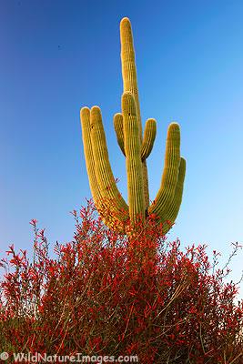 Chuparosa or Hummingbird-Bush with a Saguaro
