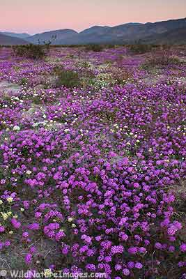 Current Wildflower Conditions, Anza-Borrego