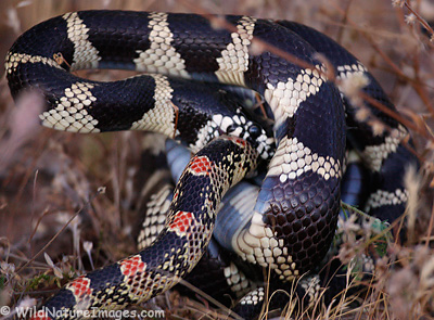 King Snake, North Eastern Kingsnake, Grey-banded Kingsnake, North Eastern Kingsnake, Desert Kingsnake, California Kingsnake,
