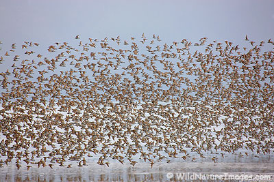 Shorebirds on the Copper River Delta