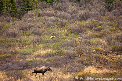 Bear vs Moose