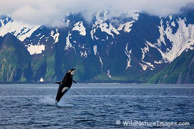 Orca - Photo Blog - Niebrugge Images