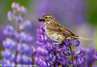 Savannah Sparrow on a lupine near Seward, Alaska.