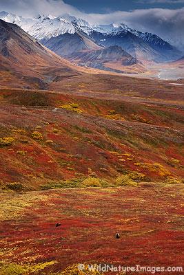 Bears, Denali National Park, Alaska