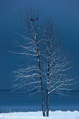 Snow covered tree along Resurrection Bay, Seward, Alaska.