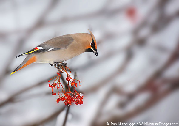 Bohemian Waxwing in the Mountain Ash in our backyard, Seward, Alaska.