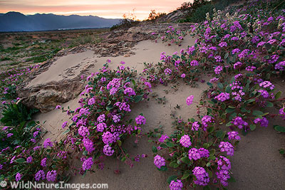 Desert Sand Verbena, Anza-Borrego Desert State Park, California.