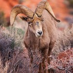 Desert Bighorn, Valley of Fire
