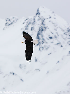 Bald Eagle flies in front of Mt. Alice, Chugach National Forest, Alaska.