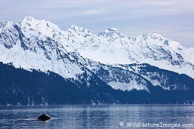 A humpback whale dives off the shoreline in Seward, Alaska.