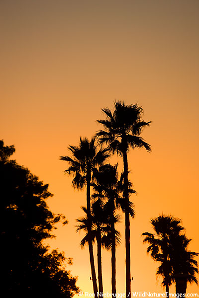 Palm Trees at sunset, Newport Beach, California.