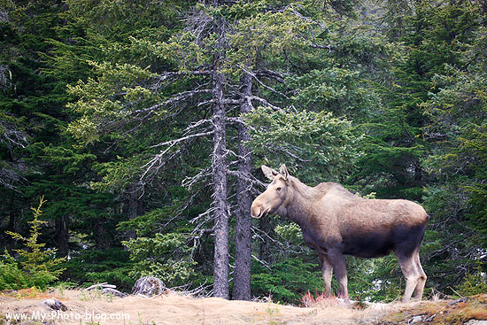 A moose cow outside of Seward, Alaska earlier this week.