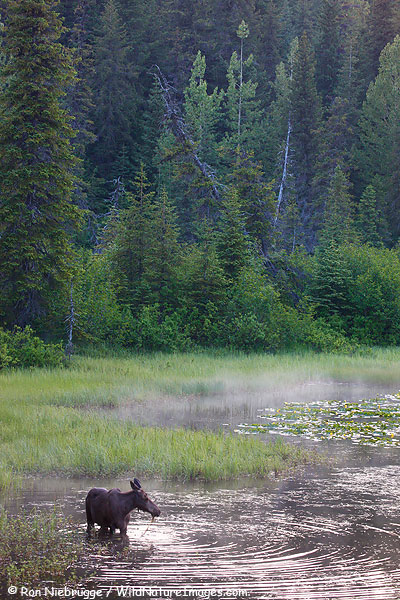 A young moose feeds in a pond, Chugach National Forest, Alaska.