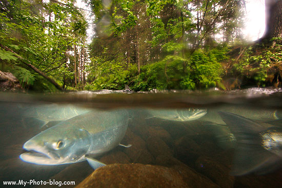 A above and below water photo of Red Salmon, Chugach National Forest, near Seward, Aalska.