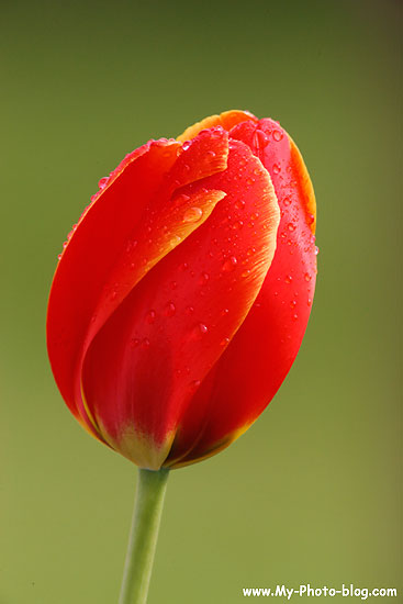 A red tulip in our front year, Seward, Alaska.