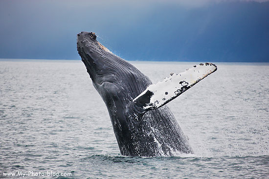Breaching Humpback Whale photo, Kenai Fjords National Park, Alaska.