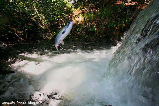 A Red Salmon trying to leap up a waterfall, Alaska.