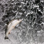 Jumping Red Salmon
