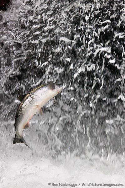 A Jumping Red Salmon, Alaska.