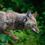 Coyote, Chugach National Forest