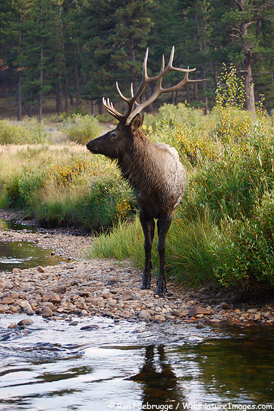 Bull Elk, Rocky Mountain National Park, Colorado.