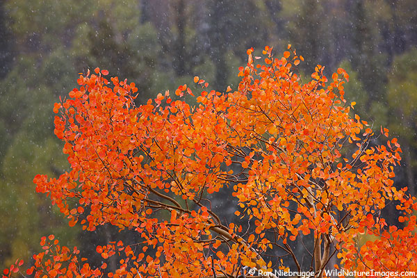 Red Aspen during a snow storm, Monarch Pass, Colorado.