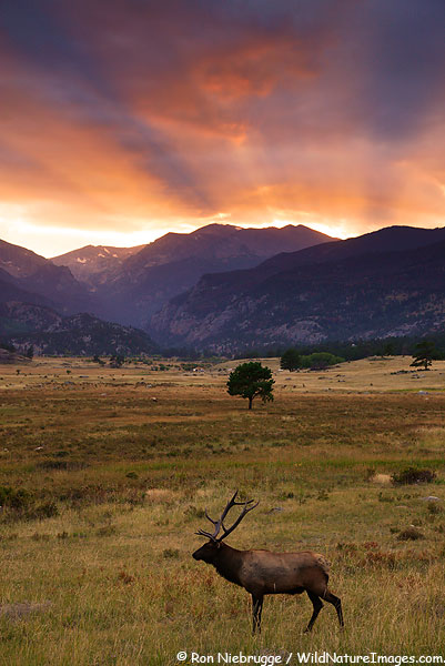 Bull Elk at sunset, Rocky Mountain National Park, Colorado.