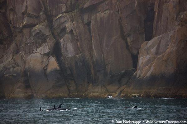 Orcas work thier way along the outer coast, Kenai Fjords National Park, Alaska.