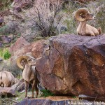 Peninsular Desert Bighorn Sheep