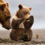 Price Reduction – Alaska Bear and Puffin Tour!