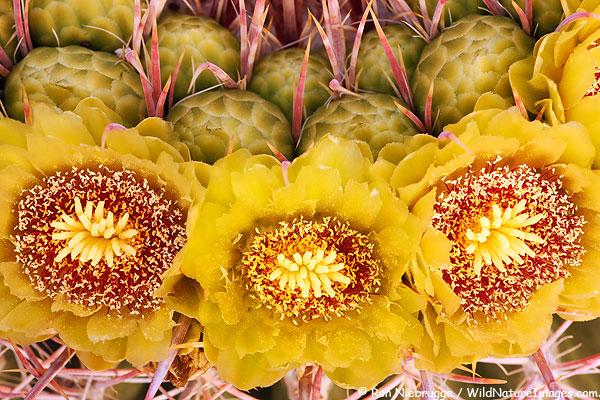 Barrel Cactus, Anza-Borrego Desert State Park, California.