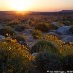 California Desert Wildflower Update