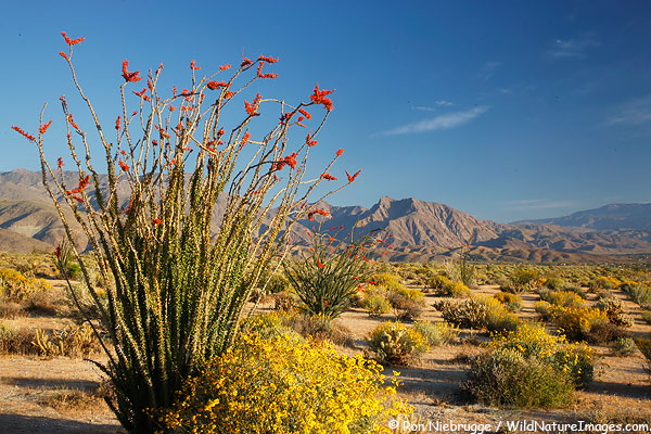 Ocotillo, Anza Borrego Desert State Park, California.