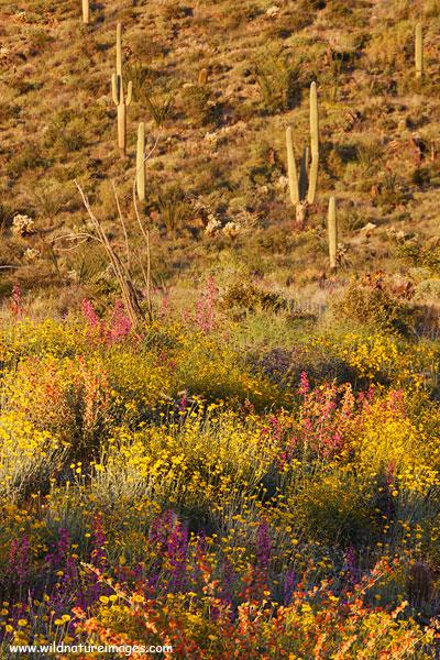 Flowers along Highway 60 near Superior, Arizona.