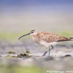 Whimbrel Photo