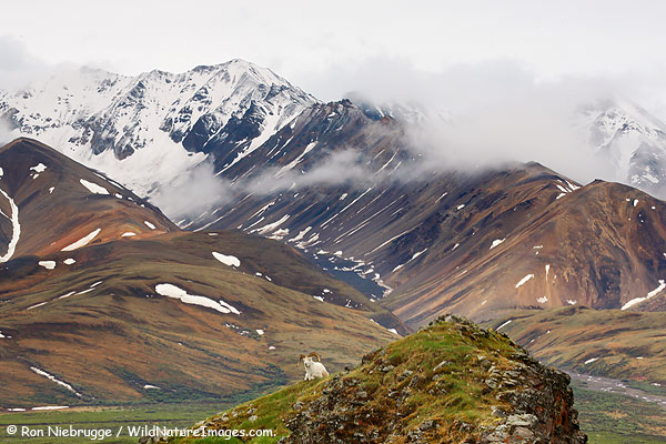 Dall Sheep, Polychrome Pass, Denali National Park, Alaska.