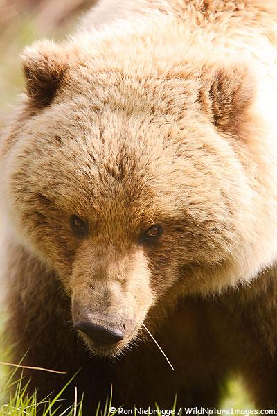 Grizzly Bear, Denali National Park, Alaska.