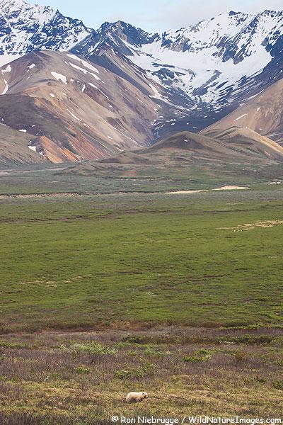 Grizzly Bear near Polychrome Pass, Denali National Park, Alaska.