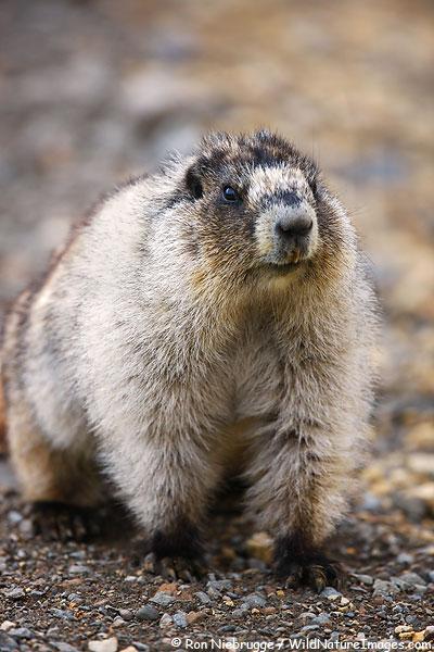 Hoary Marmot, Denali National Park, Alaska.