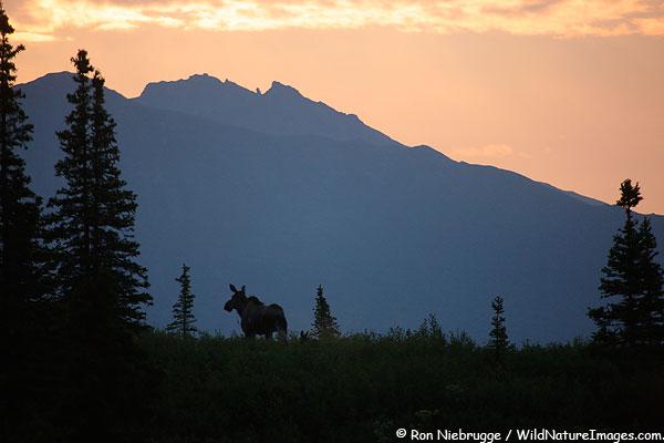 Moose cow a calf at sunrise, Denali National Park, Alaska.