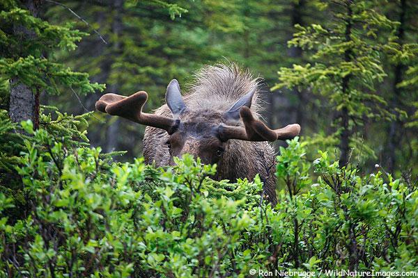 A bull moose takes a peak at me ealier this summer, Denali National Park, Alaska.