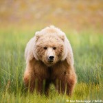 Brown Bear Sow