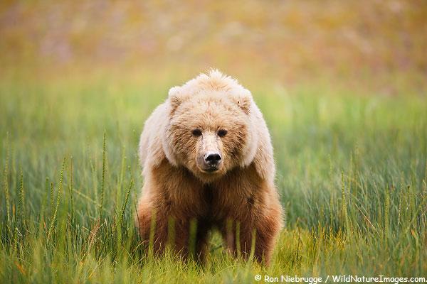 A Brown bear sow, Lake Clark National Park, Alaska.