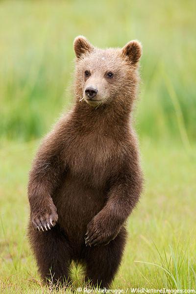 Brown bear cub stadning on his hind legs, Lake Clark National Park, Alaska.
