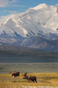 A couple of bull moose in front of Mt McKinley, Denali National Park, Alaska.