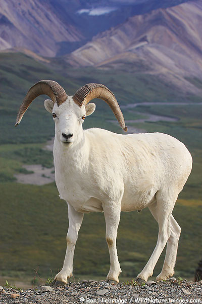 Dall Sheep, Denali National Park, Alaska.